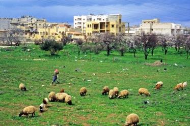 Een échte 'Arabische lente' in het westen van Syrië in Ma'arrat al-Numan. Herders laten schapen grazen naast bloeiende amandelbomen onder een blauwe hemel in 1996.