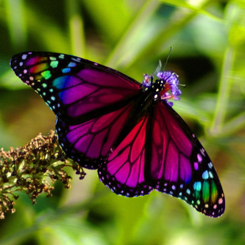 butterfly übersetzung